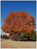 Texas Ash Fall Color
